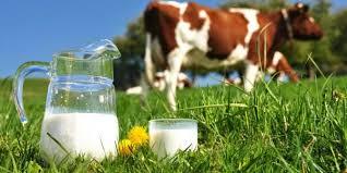 Manfaat Minum Susu Sapi Untuk Kesehatan Kita
