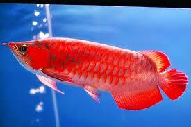 Manfaat Baik Ikan Arwana Untuk Manusia